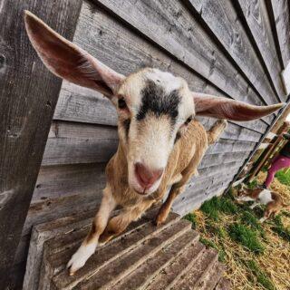 Adelaide looks like she might take off! ✈️.#goatsofinstagram #goat #goatkids #smallholding #smallholdinglife #homestead #homesteadinglife #toggenburggoat #saanengoats #boergoats #scotland #scotland_ig #selfsufficient #selfsufficiency #selfsufficientliving