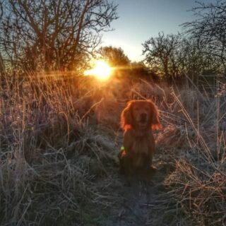 Loving these crisp cold frosty mornings, out with the four-legger in time for sunrise. Sonny -half lion, half red squirel- loves the fresh smells of a new day....#frost #frostymorning #frostymornings #hawfrost #wintersun #winter #scotlandsweather #scotland #scotlandlover #sunrise #sunriseoftheday #angusscotland #morningwalk #morningwalks #morningwalkies #cockerspaniel #cocker #goldencockerspaniel #goldencocker #workingcocker #littlemoments #dogsofinstagram #littlemomentsofmylife #angus #scottishlife